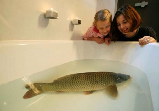 Carp in a bathtub, typical pre Christmas tradition. Photo: vetweb.cz